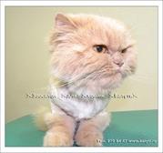 Недорогая и качественная стрижка кошек,  котов,  собак.