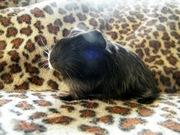Морская свинка,  шелти самец