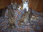 чистой породы экзотических  котят  на продажу