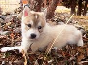 мужские и женские Сибирский хаски щенки для принятия