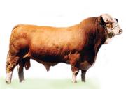 Крупный рогатый скот.