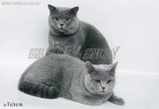 Британские котята. Настоящие,  с родословной
