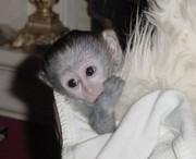ребенка капуцин обезьян для принятия