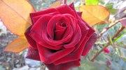 Розы оптом из Эквадора,  цветы из Голландии