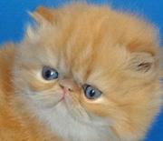 Элитные персидские котята