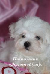Купить щенка мальтезе,  мальтийской болонки мини и стандарт