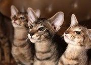 Котята ориентальные гладкошерстные
