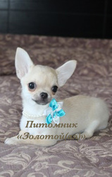 Чихуахуа очаровательные щенки