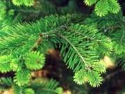 Доставка живых елок