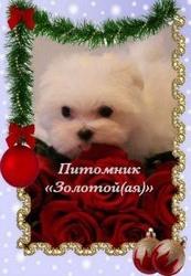 Мальтезе (мальтийская болонка) щенки мини и стандарт - счастье в Ваш д