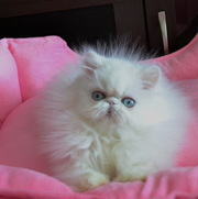 """Питомник персидских и экзотических короткошерстных кошек """"TIGRIS AMIGO"""