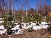 Саженцы и деревья сибирского кедра