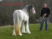 ДНК Цыганская Vanner Филли лошадь