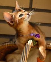 Абиссинские котята,  предлагаются