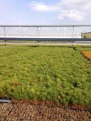 Мы рады предложить вам  посадочный материал сеянцев,  саженцев и семян