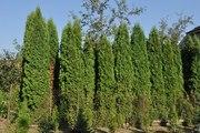 Декоративное растение самшит от 140 руб за куст