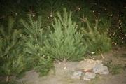 Куплю оптом новогодние елки/сосны