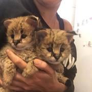 экзотическое сервалом,  саванны и Каракал котят