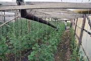 Огурцы свежие оптом из Беларуси