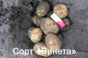 Качественный картофель оптом