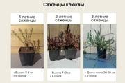 Саженцы клюквы из собственного питомника оптом с доставкой по РФ