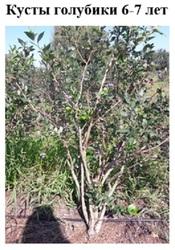 Взрослые кусты голубики высокорослой от 1, 2 до 1, 5 м