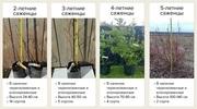 Саженцы голубики садовой из питомника оптом с доставкой по РФ