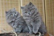 Породистые котята британской длинношерстной