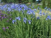 Многолетние растения,  озеленение и благоустройство