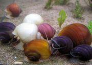 Ампулярии разноцветные аквариумные улитки