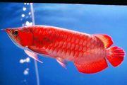 Лучшими азиатскими азиатскими красными и золотыми аквариумными рыбами