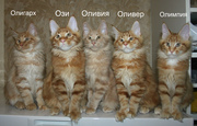 Котята из монопородного питомника породы Мейн кун