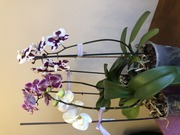 Продаю орхидеи рода Фаленопсис