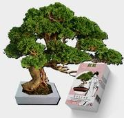 Карликовые мини-деревья Бонсай